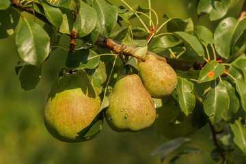 Ripe pears on a tree; summer time.