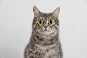 Adorable grey tabby cat on light background