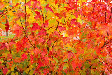 Autumn colorful red maple leaf