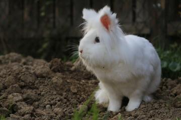 Kaninchen weiss