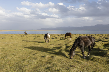 Horses graze at Song Kul lake in Kyrgyzstan in the magic evening light