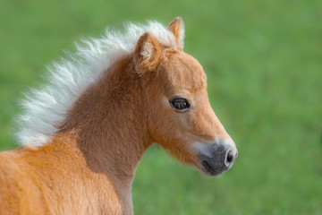 Wall Mural - American Miniature Horse. Portrait close up of palomino foal.
