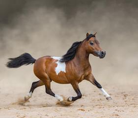 Fototapete - Skewbald American Miniature Horse running in dust.