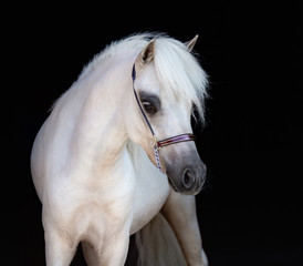 Fototapete - Portrait of palomino American Miniature Horse on black background.