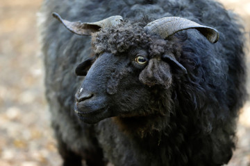 Portrait of domestic black Racka Wallachian Sheep with unusual spiral-shaped horns