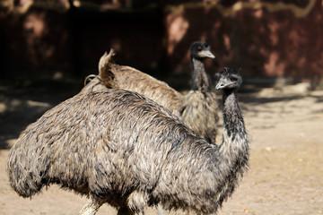 View of couple Australian Emus (Dromaius novaehollandiae)