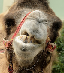 Portret of Groomy Camel.
