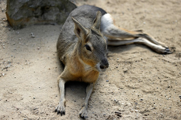 Full body of big Patagonian Cavy Mara (dolichotis mammal)