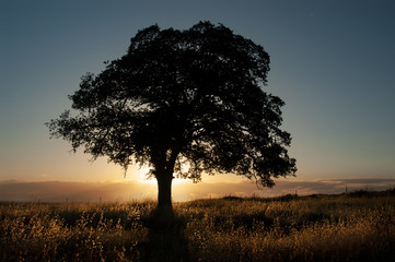 A live oak is silhouetted in front of the golden light of sunset with backlit grasses in Upper Bidwell Park, Chico, California.