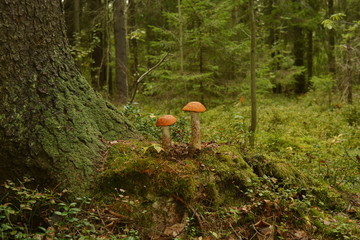 Two mushrooms with red cap near the pine tree in forest