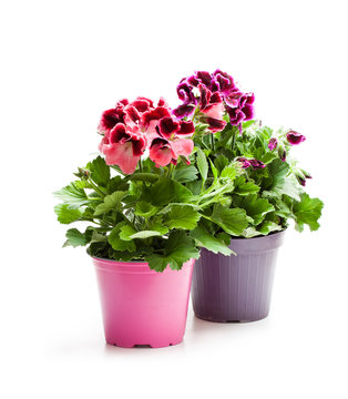 Colorful  Pelargonium flowers in flowerpot isolated on white