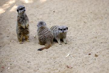 A mob of of sitting wild African Meerkats (Suricata suricatta)