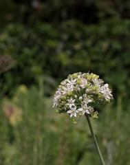 kwiat czosnku ozdobnego