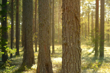 pine forest, moss and trunks of coniferous trees