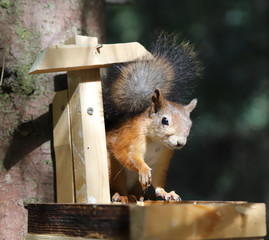 The squirrel eats sunflower seeds in the trough