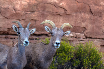Two Bighorn Sheep in Colorado National Monument, an adult female (right) with a juvenile (left)