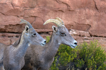 Closeup of two Desert Bighorn Sheep, an adult female and a juvenile, in Colorado National Monument