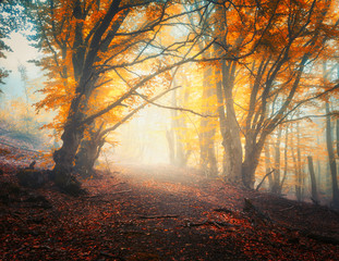 Wall Murals Forest Fairy autumn forest with trail in fog. Colorful landscape with beautiful enchanted trees with orange and red leaves on the branches. Scenery with path in mystical foggy forest. Fall colors in october