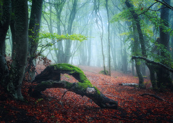 Dreamy autumn forest in fog. Colorful landscape with beautiful enchanted trees with green foliage and red leaves on the branches. Amazing scenery with mystical foggy forest. Fall colors. Nature