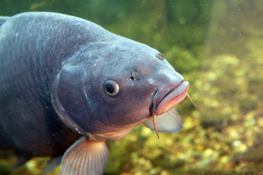 Large, beautiful carp float in the pond .