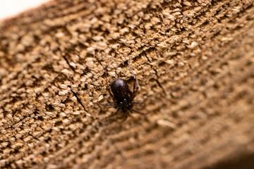 Spider on End Grain