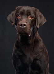 Labrador Dog on Isolated Black Background in studio