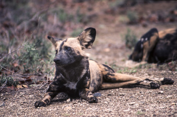 Wild Dog (Licaon pictus), Kruger National Park, Mpumalanga, South Africa