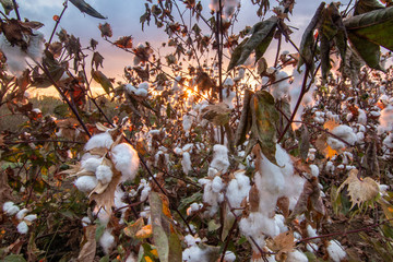 Early Morning in the Cotton Fields