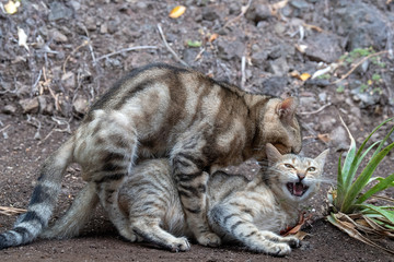Cats mating close up