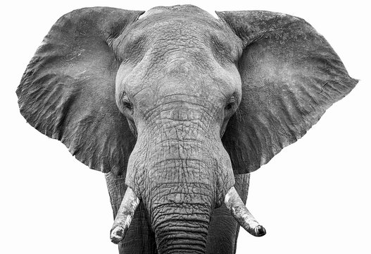 Elephant head shot black and white
