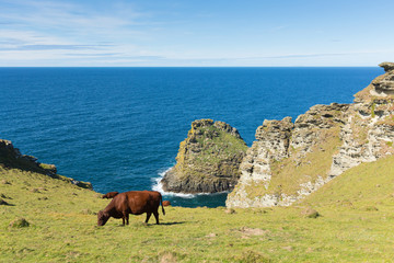 Wall Mural - Cornwall coast with cow grazing between Tintagel and Boscastle in sunshine