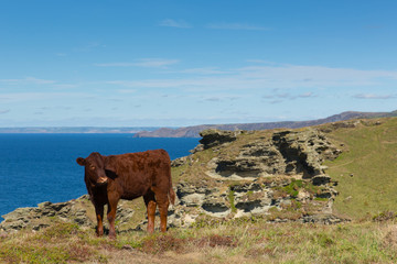 Fototapete - South west coast path Cornwall view towards Boscastle from Tintagel with cow