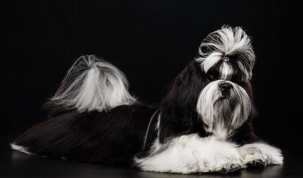 Shih Tzu dog on Isolated Black Background in studio