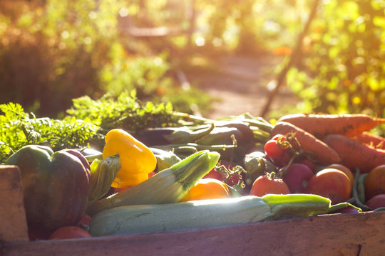 Organic vegetables from the home garden - carrots, tomatoes, peppers, zucchini and eggplant in a wooden box among the greens. Raw healthy food concept. Close up