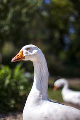 Weiße Gänse am Bauernhof. White geese on a farm.