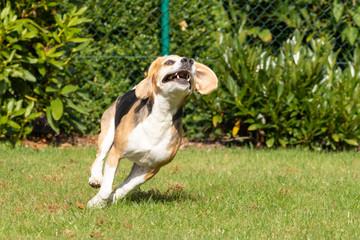 beagle running in the garden