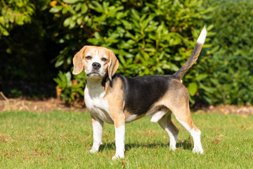 Beagle dog playing in the garden