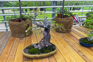 "Mahaleb cherry - Bonsai in the style of ""Straight and free""."