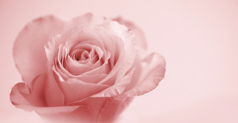 beautiful rose on soft pink background