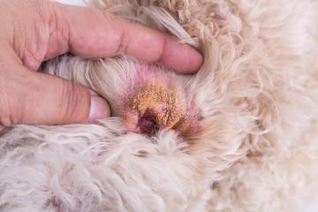 Dry ear skin of dog, suggesting symptom of Aural Hematoma