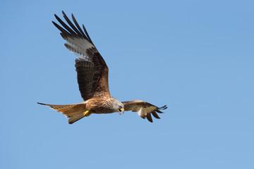 Red Kite (Milvus milvus)/Red Kite flying through blue summer sky