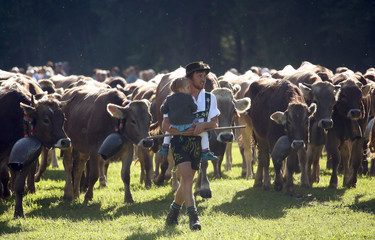 "Bavarian farmers escort cows during the traditional ""Almabtrieb"" in Bad Hindelang"