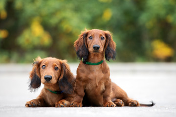 two adorable dachshund puppies posing together outdoors