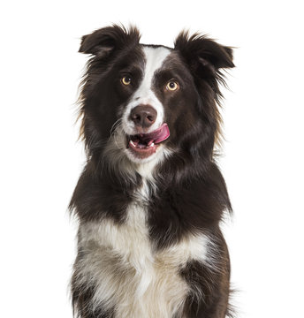 Border Collie dog, 2 years old, licking lips, sitting against wh