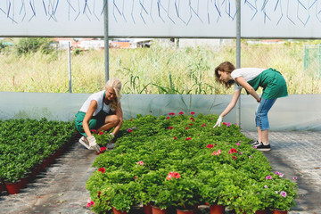 Two gardeners take care of the flowers in greenhouse