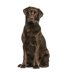 Labrador Retriever dog, 8 months old, sitting against white background