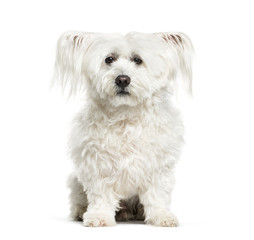 Maltese dog, 10 years old, sitting against white background