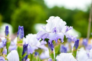 Iris de couleur parme blanc