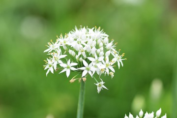 Insects in Chinese chive flowers