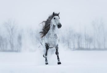 Fototapete - Winter overcast landscape with galloping grey long-maned horse.